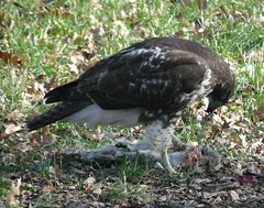 Tompkins Square Hawk Eats Squirrel by carolvinzant, on Flickr