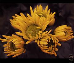 (  ) Tags: flowers flores yellow fleurs canon highlands blumen malaysia genting bunga fiori  blommor bloemen blomster bulaklak kwiaty hoa nona  iek sar  flori  kvtiny  kvety kukat cvijee  gls ziedi   roe aplusphoto