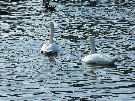 お幕場公園の白鳥