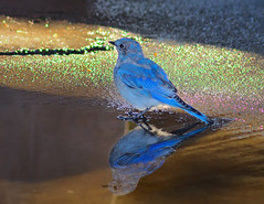 Specular Mountain Bluebird (Fort Photo) Tags: blue vacation reflection bird nature birds animal oregon outdoors nikon northwest or wildlife birding highlights pacificnorthwest bluebird specular pnw ornithology avian d300 passeriformes mountainbluebird catchycolorsblue turdidae sialiacurrucoides avianexcellence