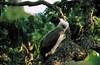 harpy eagle by HeinzPlenge