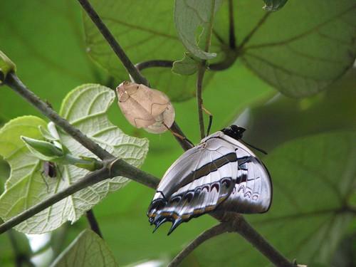 Polyura schreiber tisamenus (Blue Nawab)