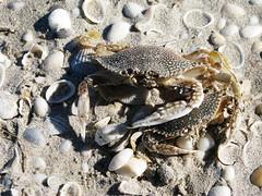 Juntos hasta la muerte (_...:::Zelluloid:::..._) Tags: sun sol beach sand crab playa arena carmen campeche cangrejos