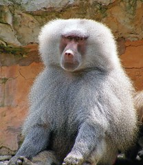 Mr Baboon (Lady Of The Hounds) Tags: animal zoo wildlife baboon 1001nights creature nayer smorgasboard theperfectphotographer mallmixstaraward