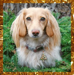 Happy Holidays (Doxieone) Tags: christmas dog holiday tree pin cream dachshund wreath honey blonde coll 2do honeydog englishcream xmas2008 honeyset pinphotoshopped