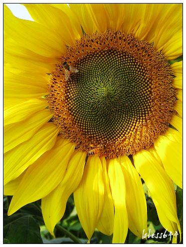向日葵上的蜜蜂