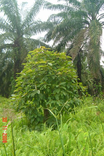 Kratom  redvein tree picture photo bild