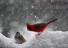 Chillin (DanKanePhotography) Tags: snow bird cardinal cardinaliscardinalis northerncardinal genuscardinalis