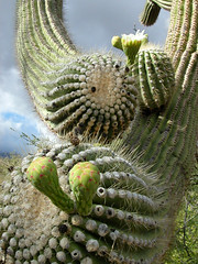 Coming at me (Kimberly Kling (Joyful Roots)) Tags: arizona cactus plant flower nature outdoors interesting desert tucson saguaro sonoran