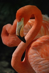 Think Pink (Sandra Rajkov) Tags: pink portrait bird animal rose mxico mexico flamingo rosa mexique pajaro xcaret rivieramaya animaux rosso oiseau flamenco quintanaroo nikond80 rajkov sandrarajkov allphotoswanted