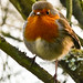 Robin redbreast by Chrissie64