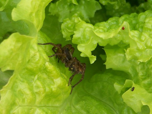 black-seeded simpson lettuce and a hunting spider