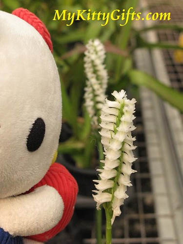 Hello Kitty Watching White Spiral Orchids in Orchid Trip Hong Kong