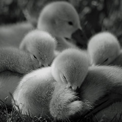 Awakenings (explore-Jun 6, 2011 #168) (kenny barker) Tags: bw macro cute art nature monochrome fauna contemporary ngc panasonic swans g1 society legacy cygnets 2011 simplybeautiful bestcapturesaoi elitegalleryaoi heavensshots art2011