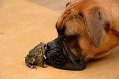 DSC_4474 (DevilDucMike) Tags: dog nikon kiss lola frog boxer d3100 devilducmike