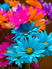 Colorful daisies (Mark Chandler Photography) Tags: pink flowers blue orange flower color nature daisies canon photography photo neon dof bokeh daisy bouquet tinted xsi 450d markchandler