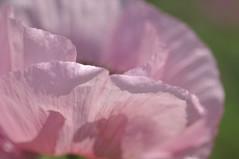 Poppy 2 (deejays123) Tags: macro nikon poppies papaverorientale sigma105mm
