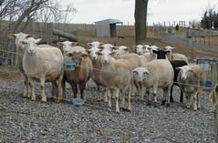 ewe gender opposite