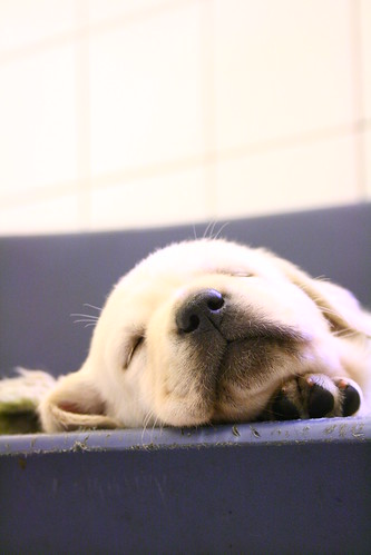 golden retriever puppy sleeping. Golden Labrador retriever