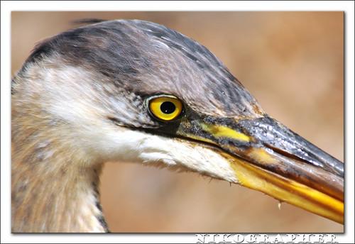 Friendliest Great Blue Heron Ever