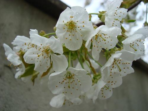 Cerisier en fleur (4)