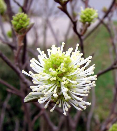 Fothergilla flower by Martin LaBar
