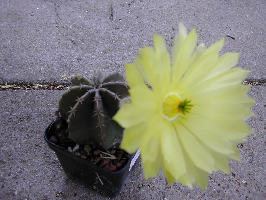 Cactus ID Please 2460584424_7f03651d36_b