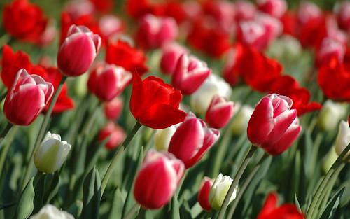 00787_tulipsinspring_2560x1600.jpg