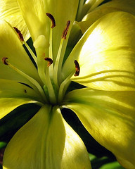 Out Of The Shadows (~~ Jen ~~) Tags: flowers iris plants plant flower nature floral yellow spring stem flora blossom cluster blossoms bloom flowering spike botanic buds pedals annual bud pedal budding perennial posy flowery floweret herbaceous blossomy