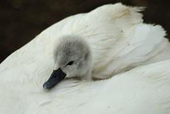 Abbotsbury cygnets 2 (Erasmus T) Tags: rain swan cygnet dorset mute abbotsbury swannery