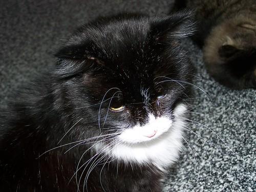 cat denvercolorado 80223 animalrescueandadopotionsociety savethemeowmeows rockymountainfelinerescue