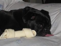 062208 040 (cmvanhoose) Tags: dogs pug frenchbulldog luci artie luciandartie