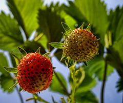 Land of milk and honey and strawberries (Batram) Tags: garden strawberries rgb erdbeeren inthegarden leina batram colormodel