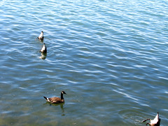 buncha jokers... (NikB.) Tags: lake water fun geese sillygoose lakeontario relaxation canadagoose happyrolphs goosebums