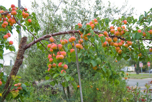 Loaded Apricot Branches