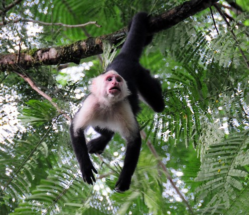 "Capuchin Monkeys of Osa • <a style=""font-size:0.8em;"" href=""http://www.flickr.com/photos//2669252140/"" target=""_blank"">View on Flickr</a>"