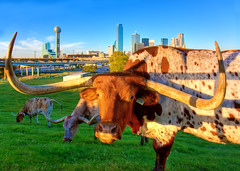 Longhorns (maconahey) Tags: ranch city urban tower reunion grass animal skyline canon buildings cow dallas downtown texas skyscrapers cattle tx wide horns eat longhorns dfw longhorn grazing graze 30d trinityriver photomatix canon30d 5photosaday fuelcity maconahey