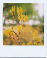 Bright, bright as yellow (Deannster) Tags: flower film yellow polaroid sx70 overcast kangaroopaws 600film lesterawalker