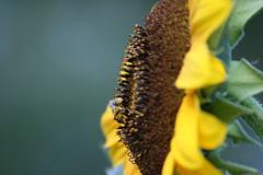 IMG_3530 (Blackavar Lion) Tags: flowers flower macro closeup bokeh bee sunflower bloom abeja tournesol abeille girasol bij biene  sonnenblume zonnebloem hymenoptera    apoidea  canonrebelxti  anthophila  2be2176f59cfac7c3f99b44a73b29c9b