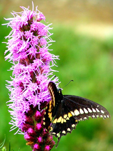 July Butterfly