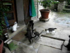 Crazy breakfast!!! (Xena*best friend*) Tags: wood wild italy pet cats fur chats furry woods feline tiger kitty kittens whiskers piemonte gato paws gatto katzen feral wildanimals 5megapixel canondigitalixus50 piedmontitaly catsbreakfast catsvideos explorejuly272008236 friendsofzeusphoebe