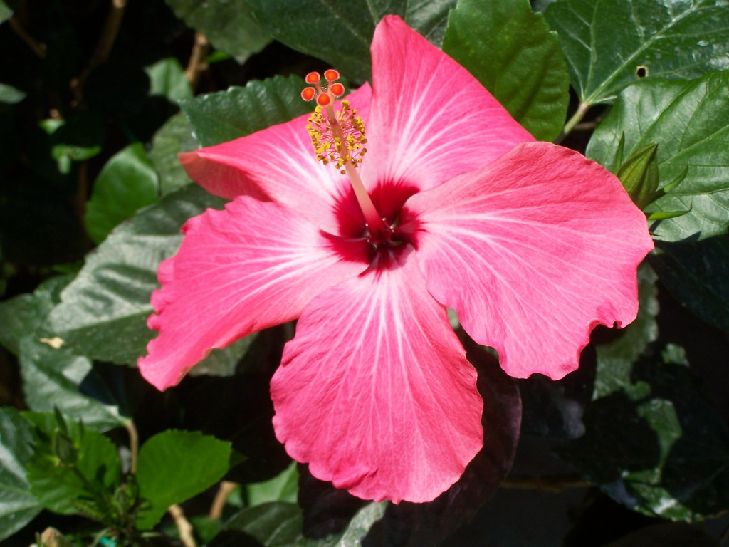 Giant Flowered Hibiscus; 2nd Season