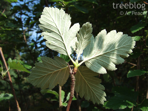 S. pseudofennica leaves (undersides)