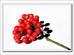 Ardisia Berry-2230 (Barbara J H) Tags: garden australia seeds qld ardisia redberries maroochydore barbarajh ardisiaberries countdownto2009yourdiary