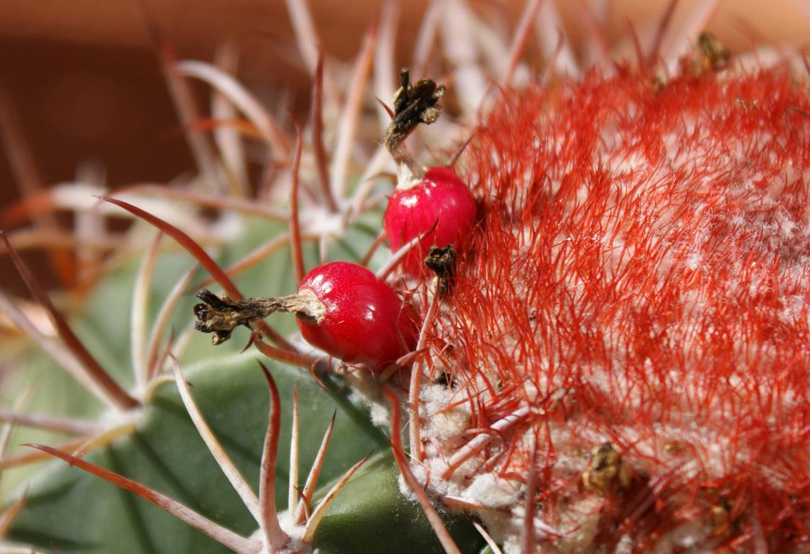 Melocactus Fruits (image heavy) 2718897564_480ee98431_o