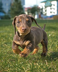 Beautifull boy (Adam Zdebel) Tags: dog puppy chocolate buster jamnik czekolada dachhund teckle jamniki myslinow