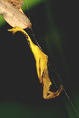 pd-db_scp2702_030808 (Darren5907) Tags: arachnid araneida orbwebspider scorpionspider