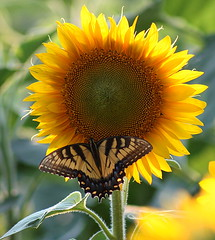 The Swallowtail and the Sunflower (astanse(Angela Stansell)) Tags: sunset flower yellow butterfly nc asheville rear north driveway sunflower carolina resting biltmore brilliant swallowtail estates potofgold bej mywinners anawesomeshot alittlebeauty swallowtailsunfloweryellownessbiltmoreestatesasheville