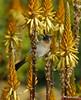 Black-eyed Bulbul on Aloe vanbalenii flowers (Martin_Heigan) Tags: camera black flower bird nature digital southafrica succulent aloe nikon dof close martin bokeh photograph eyed d200 dslr bulbul naturesfinest suidafrika pycnonotus barbatus nikonstunninggallery heigan 70300mmf4556gvr tiptol vanbalen aalwyn wsnbg mhsetbirds mhsetaloes mhsetbokeh mhsetflowers 26july2008 vanbalenii