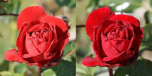 Red Rose test: Canon EOS 400D vs. Sony Alpha DSLR a300 / a200